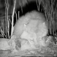 Video: Linh cẩu bỏ mạng khi cố gắng cướp mồi của