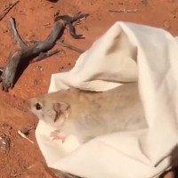 Video: Loài chuột tưởng đã tuyệt chủng hơn trăm năm tái xuất