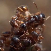 Video: Loài kiến chuyên cướp trứng của đồng loại về nuôi làm