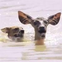 Video: Nai tử chiến kinh hoàng với chó hoang