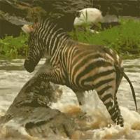 Video: Ngựa vằn sống sót kỳ diệu trước nước lũ và cá sấu khổng lồ