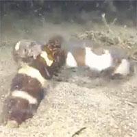 Video: Rắn biển cắn cổ đồng loại lôi đi xềnh xệch