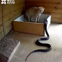 Video: Rắn hổ mang lao thẳng vào chuồng mèo để săn mồi, cái kết sẽ ra sao?