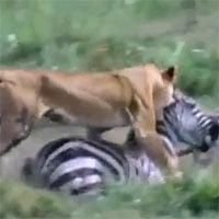 Video: Sư tử bay người, tung đòn hiểm hạ gục ngựa vằn nhanh như chớp