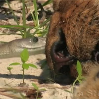 Video: Sư tử chết thảm vì bị rắn kịch độc cắn