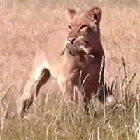 Video: Sư tử độc ác tàn sát bầy đà điểu con