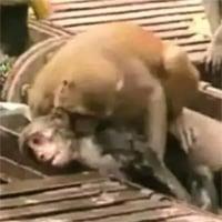 Video: Thấy bạn bị điện giật bất tỉnh, khỉ lao vào giải cứu và cái kết