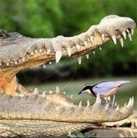 Video: Thót tim cảnh chim xỉa răng cho cá sấu