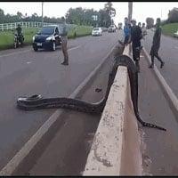 Video: Trăn Anaconda khổng lồ thản nhiên băng qua đường khiến nhiều người ná thở
