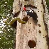 Video: Trận chiến kịch liệt giữa rắn và chim gõ kiến