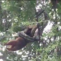 Video: Trăn ngoạm đầu lôi thú có túi lên ngọn cây để nuốt chửng