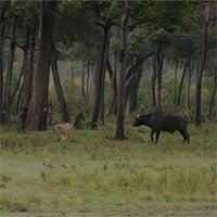 Video: Trâu rừng đang bị cả đàn sư tử vật dưới đất thì