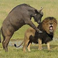 Video: Trâu rừng nổi điên, quyết giết sư tử báo thù cho con và cái kết