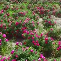 Video: Trung Quốc biến đất sa mạc thành cánh đồng hoa hồng