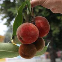 Việt Nam có loại quả lạ như kết hợp giữa đào, hồng và vú sữa