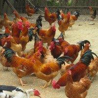 Virus cúm H7N9 biến đổi thành độc lực cao