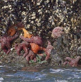 Virus đáng sợ thảm sát hàng triệu sao biển