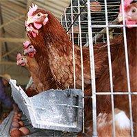 """""""Virus tận thế"""" đến từ thịt gà công nghiệp có thể làm """"bay màu"""" một nửa dân số thế giới"""