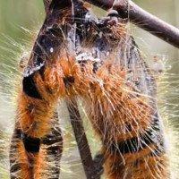 Virus thây ma khiến sâu bướm nổ tung xác