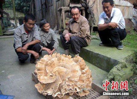 Vô tình tìm được nấm khổng lồ gần nửa tạ