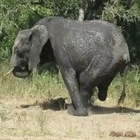 Voi 3 chân gây bất ngờ cho du khách ở châu Phi