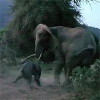 Voi mẹ giận dữ đe dọa sư tử để bảo vệ con