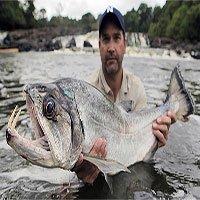 Vũ khí đáng sợ của Payara - một trong những loài cá nước ngọt nguy hiểm nhất thế giới
