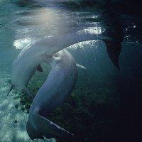 Vũ khí ngừa thai bí mật của cá heo cái