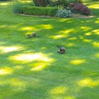 Vừa thoát khỏi mèo, thỏ thành mồi ngon của chim cú