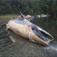 Xác 337 con cá voi mắc cạn làm thay đổi vịnh biển Chile