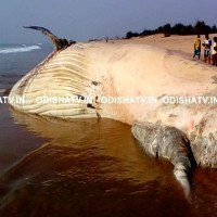 Xác cá mập voi lớn như xe tải dạt vào bờ biển Ấn Độ