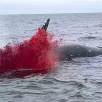 Xác cá voi trôi lênh đênh ngoài biển rồi bất ngờ nổ tung khiến ngư dân sợ điếng người