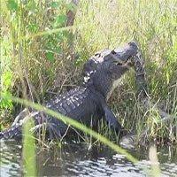 """Xem cá sấu khổng lồ dài 4m quật chết, ăn thịt trăn """"khủng"""" dài 5m"""