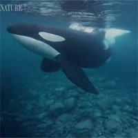 Xem cá voi sát thủ nuốt cả trăm con cá trích chỉ trong một cú đớp