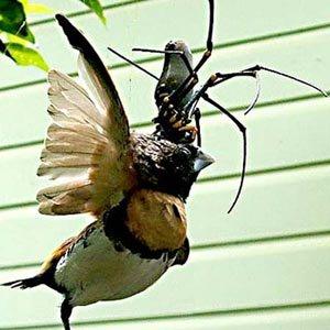 Xem nhện khổng lồ ăn thịt chim