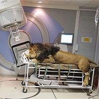 Xôn xao hình ảnh sư tử được xạ trị để chữa ung thư