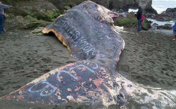 Xuất hiện dòng chữ kỳ lạ trên xác cá nhà táng khổng lồ