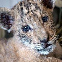 Xuất hiện hổ lai sư tử cực hiếm tại Nga