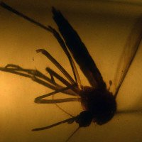 Y học đứng trước cơ hội lớn để kiểm soát zika